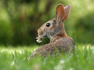 pourquoi le lapin de pâques lapin dans l'herbe