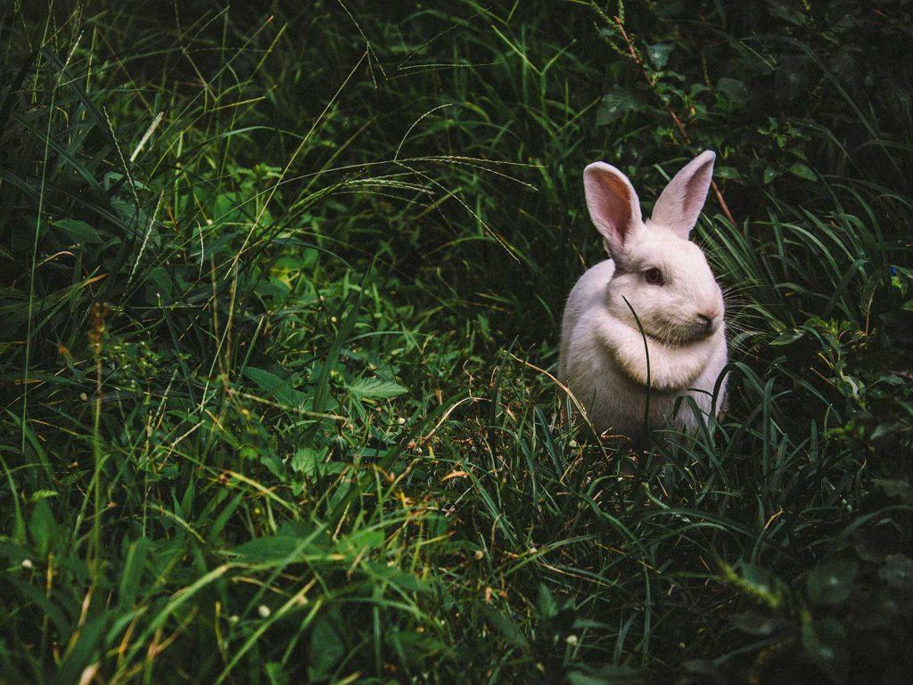 pourquoi le lapin de paques lapin dans l'herbe